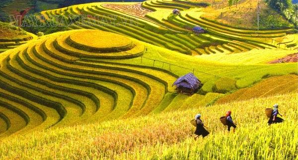 mang chủng là mùa thu hoạch