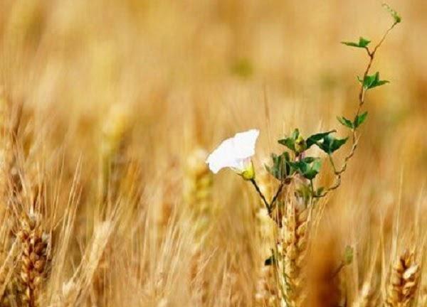 Mang chủng là mùa thu hoạch ngũ cốc